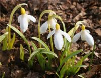 Galanthus Wendy's Gold